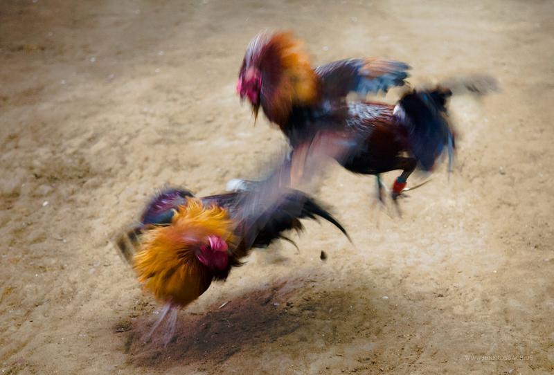 Judi Sabung Ayam Online Mudah