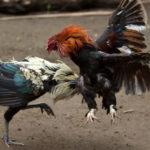 Cara Ampuh Mudah Menang Bermain Sabung Ayam Online