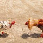 Judi Sabung Ayam Terbaik S128 Untuk Anda