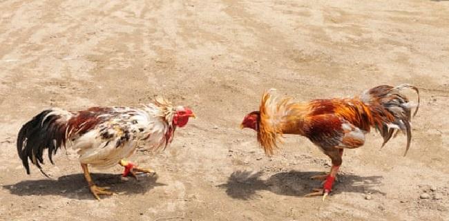 Judi Sabung Ayam Terbaik S128